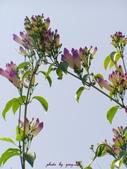 紫色浪漫97.11:蒜香藤、立鶴花、翠蘆莉、天使花、鼠尾草、馬蘭、台灣馬藍、矮牽牛:1878380498.jpg