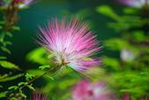 珠兒愛拍:低矮灌木:粉撲花