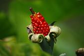 珠兒愛拍:其他植物:植物園~姑婆芋之果