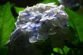 2013與繡球花的美麗約會:1235902632.jpg