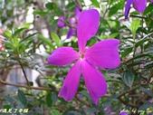 珠兒愛拍:低矮灌木:野豔牡丹8
