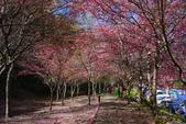 2012武陵農場賞櫻:1837845725.jpg