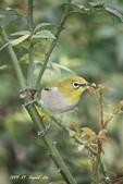 鳥類寫真:紅冠水雞、麻雀、綠繡眼、白頭翁、黑枕藍鶲、五色鳥:1786266227.jpg