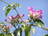 紫色浪漫97.11:蒜香藤、立鶴花、翠蘆莉、天使花、鼠尾草、馬蘭、台灣馬藍、矮牽牛:1878380499.jpg
