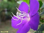 珠兒愛拍:低矮灌木:野豔牡丹7