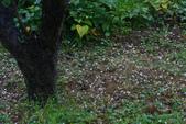 2013東眼山林之美.婆家紅梅落英:1710182852.jpg