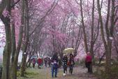 2012武陵農場賞櫻:1837851639.jpg
