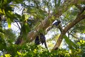 2012 鳥影~ 台灣藍鵲:1975213342.jpg