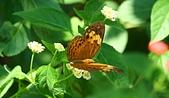 珠兒愛拍:鳥影蝶蹤:台灣黃斑蛺蝶1之1.jpg