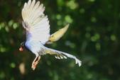 台灣藍鵲~石牌行義公園:b 131.JPG