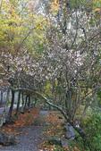 2012武陵冬景~楓葉紅銀杏黃:1305735531.jpg