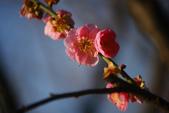 2013新竹麗池之櫻.中正紀念堂梅櫻:1443385347.jpg