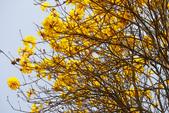 巴西國花~黃花風鈴木(新埔秘境):1366808301.jpg
