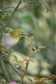 鳥類寫真:紅冠水雞、麻雀、綠繡眼、白頭翁、黑枕藍鶲、五色鳥:1786266228.jpg