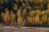 北疆金秋(3)喀納斯湖、禾木村:IMG_4838.JPG