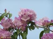 紫色浪漫97.11:蒜香藤、立鶴花、翠蘆莉、天使花、鼠尾草、馬蘭、台灣馬藍、矮牽牛:1878380500.jpg