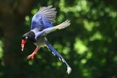 台灣藍鵲~石牌行義公園:b 138.JPG