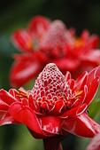 珠兒愛拍:其他植物:植物園~火炬薑