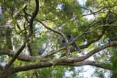 2012 鳥影~ 台灣藍鵲:1975213343.jpg