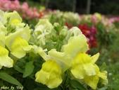 杜鵑花、苦楝、金魚草、玻斯菊、飄香藤:1370664916.jpg
