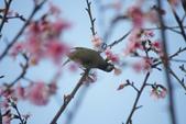 2013新竹麗池之櫻.中正紀念堂梅櫻:1443385372.jpg