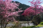 2012武陵農場賞櫻:1837851663.jpg