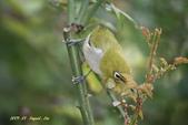鳥類寫真:紅冠水雞、麻雀、綠繡眼、白頭翁、黑枕藍鶲、五色鳥:1786266229.jpg