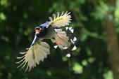 台灣藍鵲~石牌行義公園:b 120.JPG