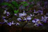2013紫藤咖啡園:1744197446.jpg