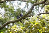 2012 鳥影~ 台灣藍鵲:1975213344.jpg