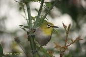 鳥類寫真:紅冠水雞、麻雀、綠繡眼、白頭翁、黑枕藍鶲、五色鳥:1786266231.jpg