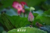 荷花.麻雀.紅冠水雞:_MG_1496-1.jpg