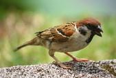 麻雀、鷺鷥、紅冠水雞~荷花池生態秀:z 104.JPG