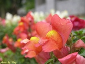 杜鵑花、苦楝、金魚草、玻斯菊、飄香藤:1370664917.jpg