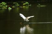 麻雀、鷺鷥、紅冠水雞~荷花池生態秀:w 121.JPG