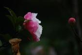 2012龍年風景(茶花山櫻花):1118855885.jpg