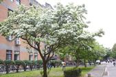 2012春暖花開~流蘇、野薔薇、加羅林魚木…..:1055388521.jpg
