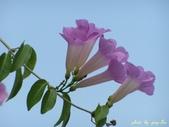 紫色浪漫97.11:蒜香藤、立鶴花、翠蘆莉、天使花、鼠尾草、馬蘭、台灣馬藍、矮牽牛:1878380502.jpg