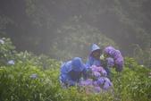 2012繡球花.阿勃勒.:1603080167.jpg