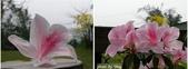 杜鵑花、苦楝、金魚草、玻斯菊、飄香藤:1370664895.jpg