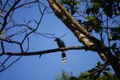 2012 鳥影~ 台灣藍鵲:1975213345.jpg