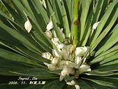 珠兒愛拍:其他植物:刺葉王蘭7