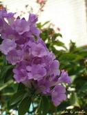 紫色浪漫97.11:蒜香藤、立鶴花、翠蘆莉、天使花、鼠尾草、馬蘭、台灣馬藍、矮牽牛:1878380503.jpg