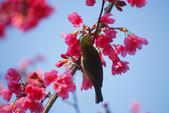 2013新竹麗池之櫻.中正紀念堂梅櫻:1443385411.jpg