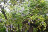 2012春暖花開~流蘇、野薔薇、加羅林魚木…..:1055388522.jpg