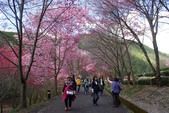 2012武陵農場賞櫻:1837851623.jpg