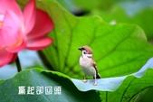 荷花.麻雀.紅冠水雞:_MG_1547-1.jpg