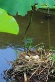 麻雀、鷺鷥、紅冠水雞~荷花池生態秀:C 002.JPG