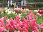 杜鵑花、苦楝、金魚草、玻斯菊、飄香藤:1370664919.jpg