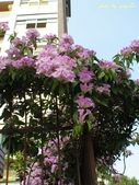 紫色浪漫97.11:蒜香藤、立鶴花、翠蘆莉、天使花、鼠尾草、馬蘭、台灣馬藍、矮牽牛:1878380504.jpg